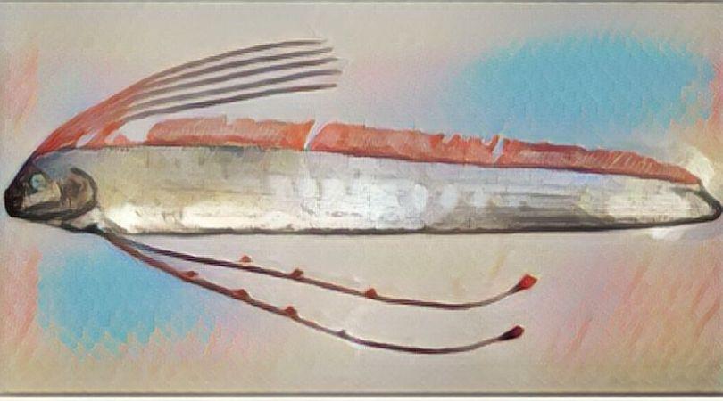 リュウグウノツカイ 食べる 味 最大 稚魚 名前の由来
